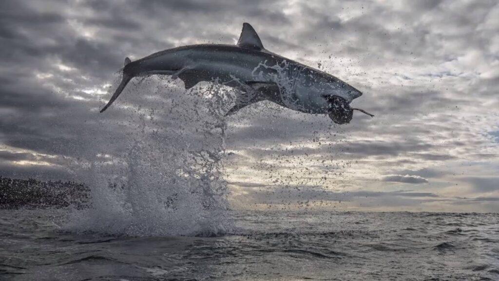 comportamiento de los tiburones
