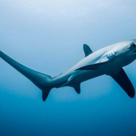 tiburon zorro